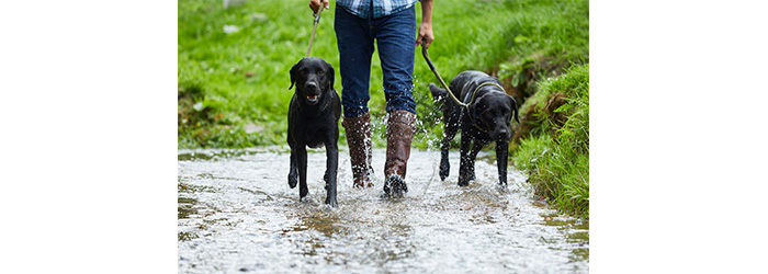 Man walking dogs through a puddle in leather boots