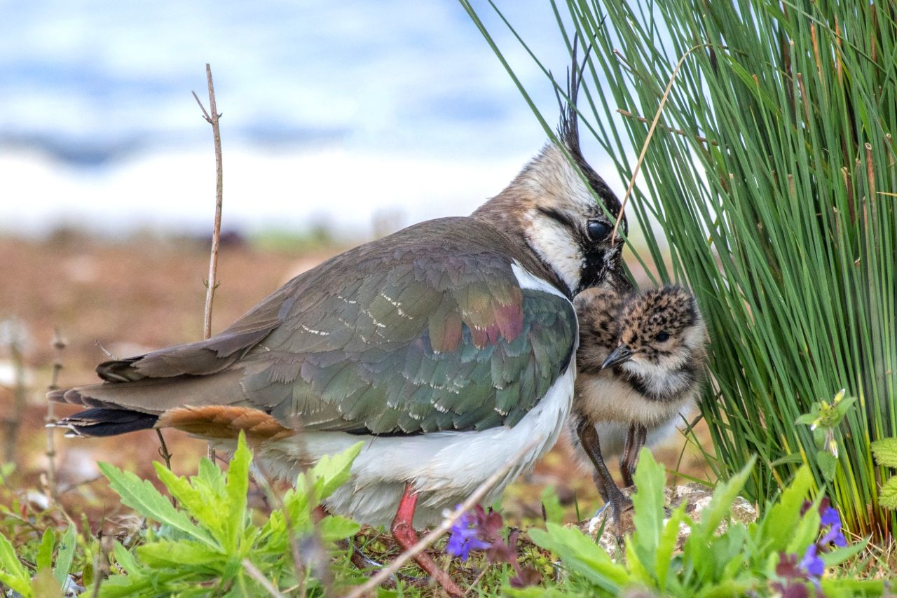 Lapwing and Baby 2